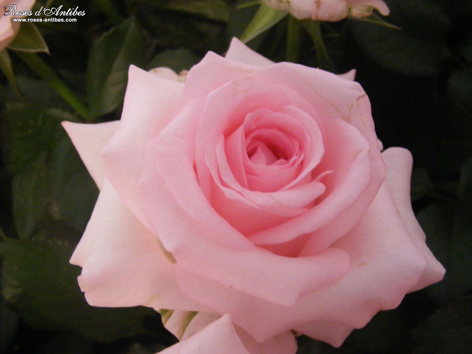 Galerie De Photo De Roses Bouquets De Roses De Roses D Antibes