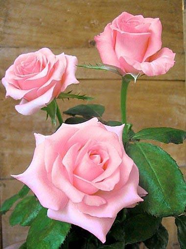 rose-rose-noblesse-tg.jpg